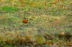 hello, mr. robin in the rain (muffett68 ) Tags: robin elements habitat odc throughmywindshield ansh firstsighting scavenger12
