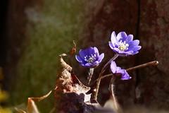 (evisdotter) Tags: flowers light macro nature leaf bokeh blommor blsippor sooc anemonehepatica