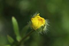 bouton d'or (bulbocode909) Tags: nature fleurs jaune vert printemps boutondor