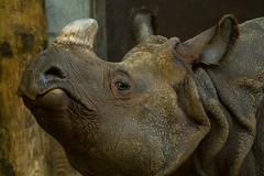 indianrhino1_torontozoo_april16 (YenC) Tags: toronto animals zoo mammals rhinoceros indianrhino