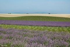 ..colori nei campi di lavanda (antosti) Tags: verde nikon d70s giallo viola azzurro colori francia provenza lavanda campi valensole tagliata