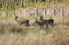 Roe Deer ~ Explored (Margaret S.S) Tags: deer buck roe hinds