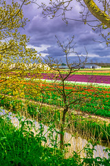 Tulipography in Lisse in the Netherlands (FraMeoFheSaM) Tags: netherlands contrast canon reflections perspective pointofview tulip wetland lowland lisse 70d sigma1835