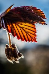 Red Leaf (prose86) Tags: red orange nature leaf spring sundown buds