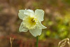 Daffoldil (Myrialejean) Tags: sun white flower green sunshine yellow garden spring flora nikon trumpet somerset corona daffodil perennial narcissus jonquil tepal daffadowndilly bokehnature d7200