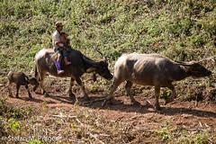 719-Mya-HSIPAW-507.jpg (stefan m. prager) Tags: burma landwirtschaft kind myanmar shan birma wasserbüffel hsipaw thibaw nikond810
