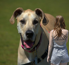 Great Big Dog (swong95765) Tags: woman dog scale lady female big bokeh large canine size huge dane tall proportion