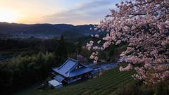 Beautiful sunrise on a spring morning (ryex) Tags: sunrise landscape temple spring cherryblossoms teaplantation morningsunrise