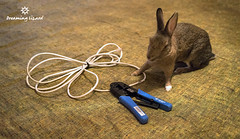 fixing the cord (Dreaming Lizard) Tags: brown cute rabbit bunny animal cord diy welfare agouti britanniapetite