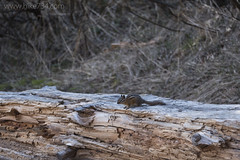 """Chipmunk • <a style=""""font-size:0.8em;"""" href=""""http://www.flickr.com/photos/63501323@N07/26303720460/"""" target=""""_blank"""">View on Flickr</a>"""