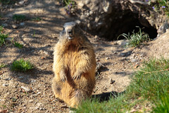 Hello Sunshine! (Harald Schnitzler) Tags: feldkirch sterreich groundhog alpine marmot hibernation winterschlaf murmeltier wintersleep vorarlberg at