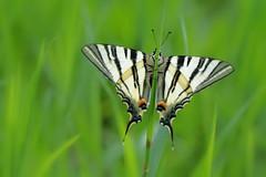 D71_5719A (vkalivoda) Tags: macro butterfly insect bokeh outdoor depthoffield serene makro schmetterling segelfalter scarceswallowtail iphiclidespodalirius motl otakrek otakrekovocn vidlochvostovocn cocoonofdreams