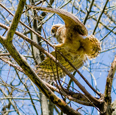Leaping Owl (Mike Matney Photography) Tags: bird nature birds canon us midwest unitedstates wildlife stlouis missouri raptor april stl owls birdofprey greathornedowl webstergroves 2016 blackburnpark eos7d webstersgrove