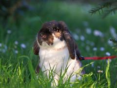 Il peluche nel prato (Ale*66*) Tags: pet rabbit bunny sweet bunnylop