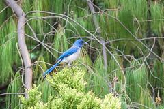 Pjaro Azul (ruimc77) Tags: city blue cidade naturaleza macro tree bird ex nature azul mxico mexico arbol nikon df natureza sigma ciudad 11 os pajaro arvore coyoacan dg coyoacn viveros 105mm hsm d810 pajro