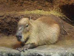 Capybara, Osaka Aquarium, Japan, 7 April 2016 (AndrewDixon2812) Tags: japan aquarium  osaka kansai capybara  kaiyukan