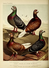 n323_w1150 (BioDivLibrary) Tags: pigeons fieldmuseumofnaturalhistorylibrary bhl:page=49799191 dc:identifier=httpbiodiversitylibraryorgpage49799191