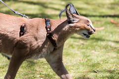 Caracal (Justin Kane) Tags: california park cat zoo us san unitedstates sandiego african diego safari caracal escondido