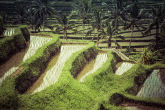 Jatiluwih rice fields in Bali - Indonesia (Laurent Tironi) Tags: travel indonesia ricefield jatiluwih canon6d