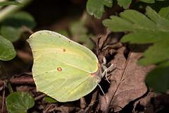 Zitronenfalter (Gonepteryx rhamni)_Q22A0710-BF (Bluesfreak) Tags: insekten schmetterlinge zitronenfalter gonepteryxrhamni tagfalter