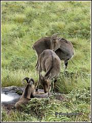 6093 - Nilgiri tahrs (chandrasekaran a 32 lakhs views Thanks to all) Tags: india nature kerala species endangered mammals munnar tahrs tamronaf18270mmpzd canoneos760d nilgiritahrs