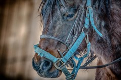 I'm liking Nik more and more. (KWPashuk) Tags: portrait horse animal lowlight nikon farm halter hdr lightroom bridle nikkor70300mm d7200 nikcollection kwpashuk kevinpashuk
