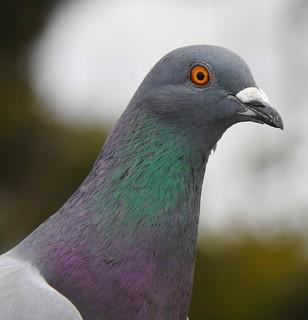 Rock (Feral) Pigeon