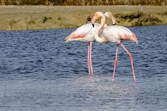 Flamencos (pepas1) Tags: primavera azul de la mar san carlos naranja aire libre mediterrneo flamencos vuelo fotografa rapita