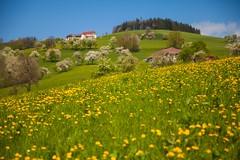_MG_0195 (TobiasW.) Tags: austria blossom blossoms pear flowering blte niedersterreich obersterreich blten 2016 birnbaum upperaustria loweraustria mostviertel birnbaumblte weises moststrasse moststrase peartee