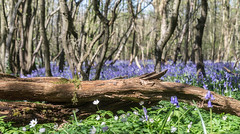 log rhythm -1 (gilliesavo (just back and catching up )) Tags: blue beauty bluebells woodland spring focus dof dancing