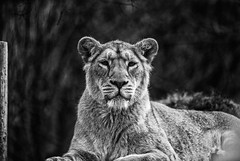 Lion (pixel--shift) Tags: park bw white black cat big wildlife sony lion rest g2 chill ssm cotswold 70400
