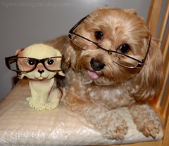 Worlds Cutest Eyeglass Holder (yourdesignerdog) Tags: dog wearing look tongue wednesday out glasses blog twins all wordpress worlds eyeglasses posts cutest alike holder eyeglass wordless ifttt