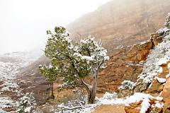 Zion tree and snow (BDFri2012) Tags: snow mountains tree fog clouds landscape outdoors utah nationalpark zion zionnationalpark sandstonecliffs rockformation americansouthwest southwestunitedstates