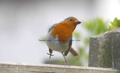 A Great Catch............... (law_keven) Tags: england london robin birds feathers avian catford feathery robinredbreast featheryfriday