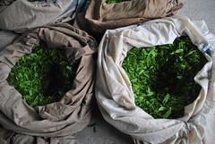 First Flush First Harvest, spring 2016 (Obubu Tea) Tags: spring greentea kansai tealeaves sencha  japanesetea shincha  firstflush wazuka teaharvest obubutea
