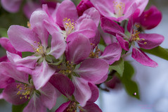 Joyful spring (mariola aga) Tags: pink flowers macro tree closeup spring bright blossom pastel serene joyful lifecycle thegalaxy flowercluster