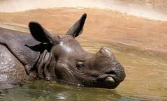 Swimming Rhino (greekgal.esm) Tags: california water pool animal swimming mammal sandiego sony rhino urbanjungle sandiegozoo rhinoceros balboapark sdzoo indianrhinoceros greateronehornedrhinoceros sal70300g sandiegozooglobal endextinction a77m2 a77mii