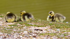 Canada Geese chicks (Colin Hollywood Photography) Tags: park new uk england canada bird forest geese canadian goose chick national fowl