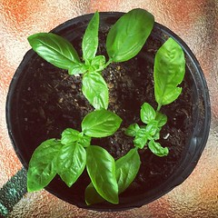 Freshly planted basil clones! #gardening #home... (adamhay.info) Tags: plants color green home flora herbs gardening basil urbangardening uploaded:by=flickstagram instagram:photo=10285820462347737813642753
