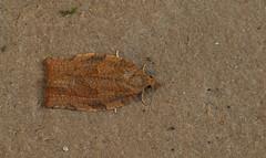 20140521-DSC07978 klein.jpg (henk.wallays) Tags: macro nature closeup insect wildlife natuur lepidoptera date falter insekt arthropoda insecte aaaa schmetterlinge vlinders 2014 insecta micromoths henkwallays 201405  skubvlerkiges    microlepidopteraspecies