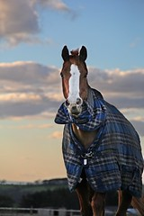 George and the sunset (Love Lens Life) Tags: sunset horse pet pets love animal animals night landscape outdoors country northumberland stallion