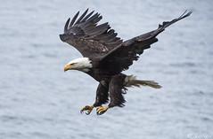 Eagle descend 131 (Gillfoto) Tags: wild bird alaska eagle baldeagle juneau haliaeetusleucocephalus
