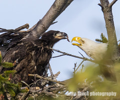 Bald Eagle feeding Eaglet (Mike Black photography) Tags: new white black bird mike nature canon lens photography big eagle body year birding bald nj shore jersey april 800mm 2016 5ds