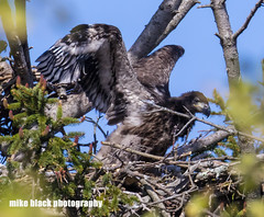 Bald Eaglet at New Jersey shore (Mike Black photography) Tags: new white black bird mike nature canon lens photography big eagle body year birding bald nj shore jersey april 800mm 2016 5ds