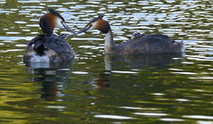 Fish and feathers for tea (jump for joy2010) Tags: uk england water birds private breeding april chicks stripey parenting highbridge 2016 greatcrestedgrebe behaviour podicepscristatus humbugs walrowfishingponds