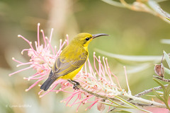Yellow-bellied Sunbird - Female 710_7180.jpg (Mobile Lynn) Tags: wild bird nature birds fauna wildlife ngc australia npc queensland passerine coth greatphotographers specanimal yellowbelliedsunbird wongalingbeach yellowbelliedasity coth5 neodrepanishypoxantha sunrays5