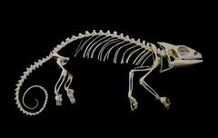 Squelette de Camlon Panthre / Panther Chameleon Skleton (Furcifer pardalis) (JC-Osteo) Tags: skeleton skull reptile os esqueleto bones bone chameleon crne skelett reptilia camlon squelette squamata furciferpardalis osteology furcifer chamaeleonidae ostologie jctheil