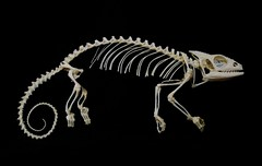 Squelette de Caméléon Panthère / Panther Chameleon Skleton (Furcifer pardalis) (JC-Osteo) Tags: skeleton skull reptile os esqueleto bones bone chameleon crâne skelett reptilia caméléon squelette squamata furciferpardalis osteology furcifer chamaeleonidae ostéologie jctheil