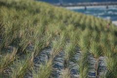 Strandhafer zur Dnensicherung (kalakeli) Tags: oktober october balticsea ostsee zingst 2015 ammophila dars strandhafer strandbefestigung strandsicherung