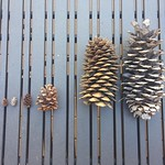 "Pinecones <a style=""margin-left:10px; font-size:0.8em;"" href=""http://www.flickr.com/photos/14315427@N00/23955208161/"" target=""_blank"">@flickr</a>"
